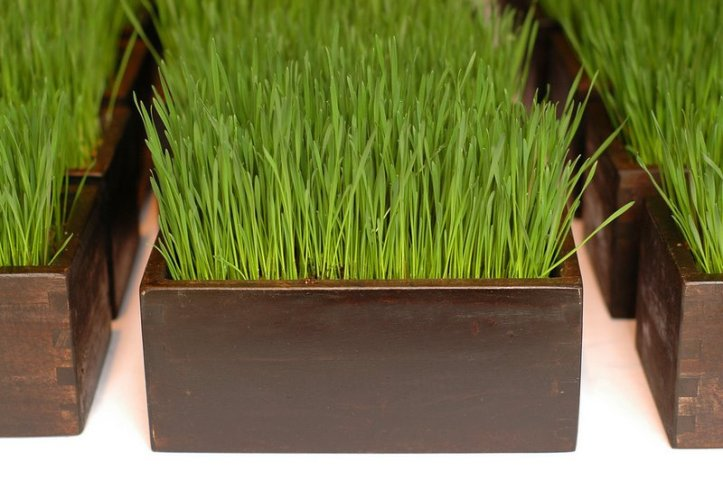 5_wheatgrass